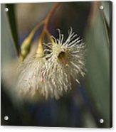 White Eucalyptus  Acrylic Print