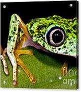 White-eyed Leaf Frog Acrylic Print