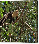 White-faced Capuchin Monkey In Manuel Antonio National Preserve-costa Rica Acrylic Print