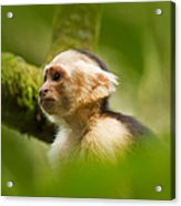 White Faced Capuchin Monkey Portrait Acrylic Print