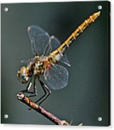 White-faced Meadowhawk Acrylic Print