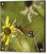 White-faced Meadowhawks Mating Acrylic Print