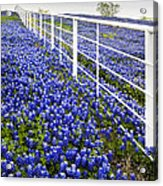 White Fence - Blue Bonnets Acrylic Print