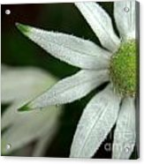 White Flannel Flowers Acrylic Print