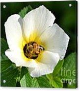 White Flower- Nectar Acrylic Print