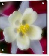 White Flower On Red Background Acrylic Print