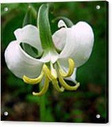 White Flowering Rose Trillium Acrylic Print