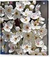 White Flowering Tree Flowers Acrylic Print