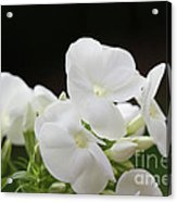 White Flowers 3 Acrylic Print