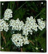 White Flowers In Green Field Acrylic Print