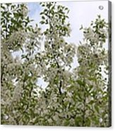 White Flowers On Branches Acrylic Print