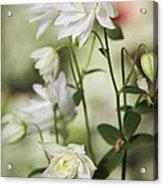 White Frilly Columbines Acrylic Print