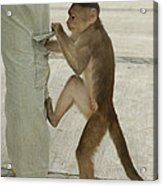 White-fronted Capuchin Checking Pocket Acrylic Print