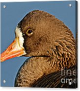 White-fronted Goose Acrylic Print