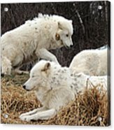 White Furs Acrylic Print