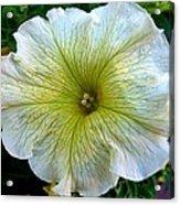 White Garden Petunia Acrylic Print
