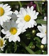 White Gerbera Daisy Acrylic Print