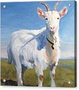 White Goat Acrylic Print