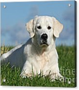 White Golden Retriever Dog Lying In Grass Acrylic Print by Dog Photos