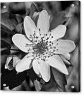 White Hepatica Acrylic Print