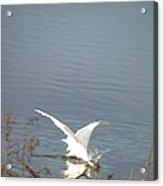 White Heron Feeding In Lake Acrylic Print