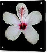 White Hibiscus Isolated On Black Background Acrylic Print