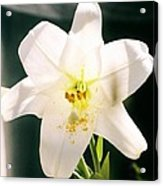 Easter Lily Up Close, Bermuda Acrylic Print