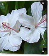 White Hibiscus Trio Waikiki Acrylic Print