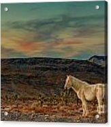 White Horse At Sunset Acrylic Print