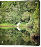 White Horse Drinking Water Acrylic Print