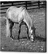 White Horse In A Pasture Among Daisy Flowers Acrylic Print