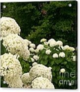 White Hydrangeas Acrylic Print