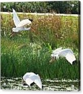 White Ibis In Flight 15 Acrylic Print by Walter Rickard