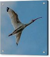 White Ibis In Flight Acrylic Print