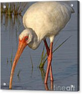 White Ibis In Grass Acrylic Print