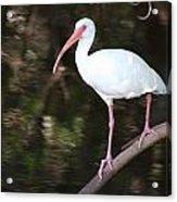 White Ibis On Mangrove Limp Acrylic Print
