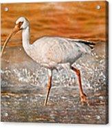 White Ibis Stroll Acrylic Print
