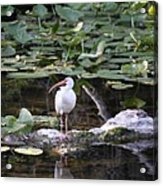 White Ibis With Lily Pads Acrylic Print
