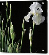 White Iris In Black Of Night Acrylic Print