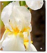 White Iris Acrylic Print