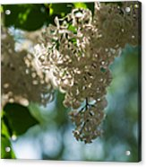 White Lilacs In The Shade - Featured 2 Acrylic Print