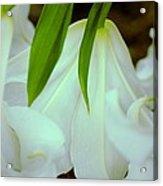 White Lily Bows  Acrylic Print