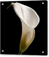 White Lily Acrylic Print by Amanda Elwell