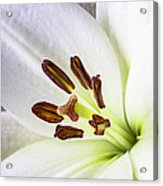White Lily Close Up Acrylic Print by Garry Gay