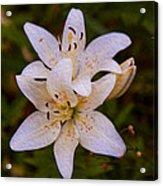 White Lily Starburst Acrylic Print