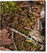 White-lined Sphinx Moth Acrylic Print