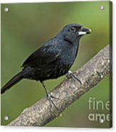 White-lined Tanager Acrylic Print