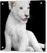 White Lion Cub Acrylic Print