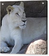 White Lion Looking Proud Acrylic Print
