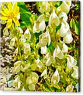 White Locoweed On Highline Trail In Glacier National Park-montana Acrylic Print